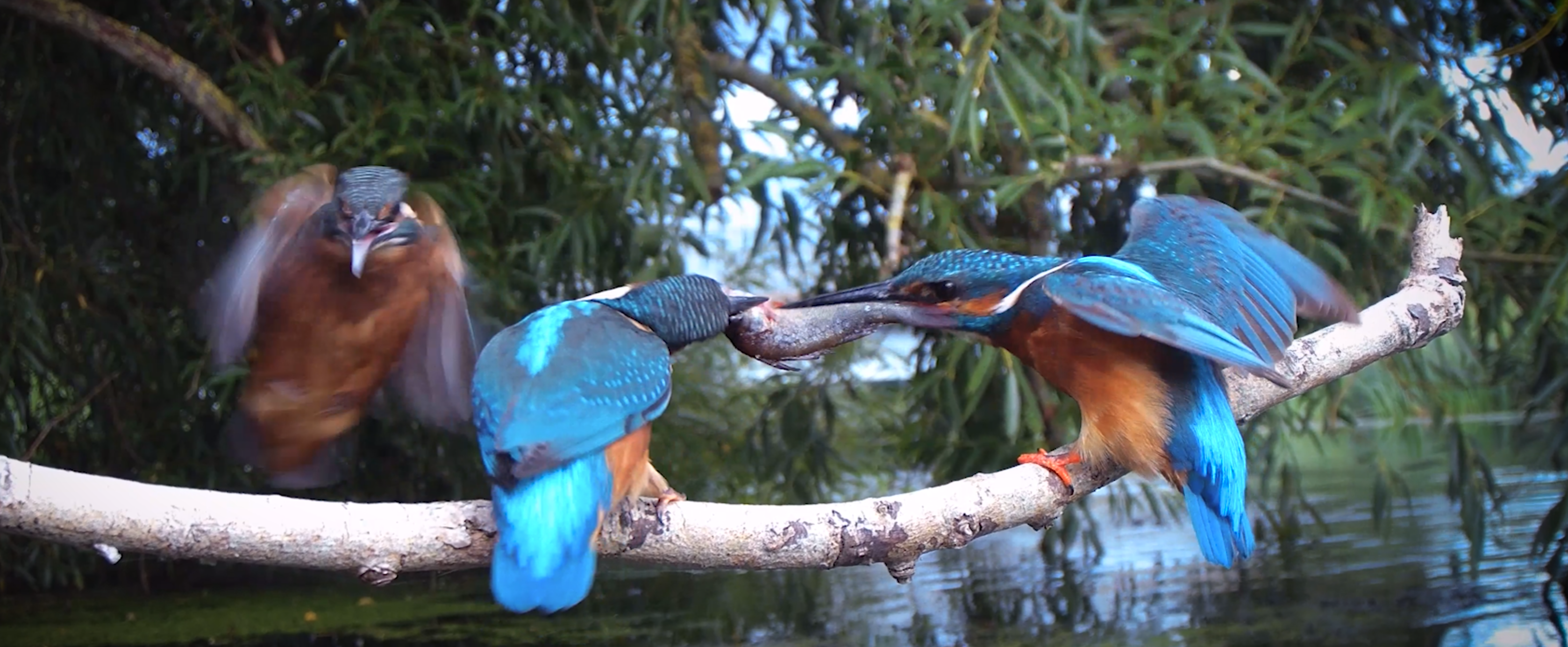 kingfishers steals fish