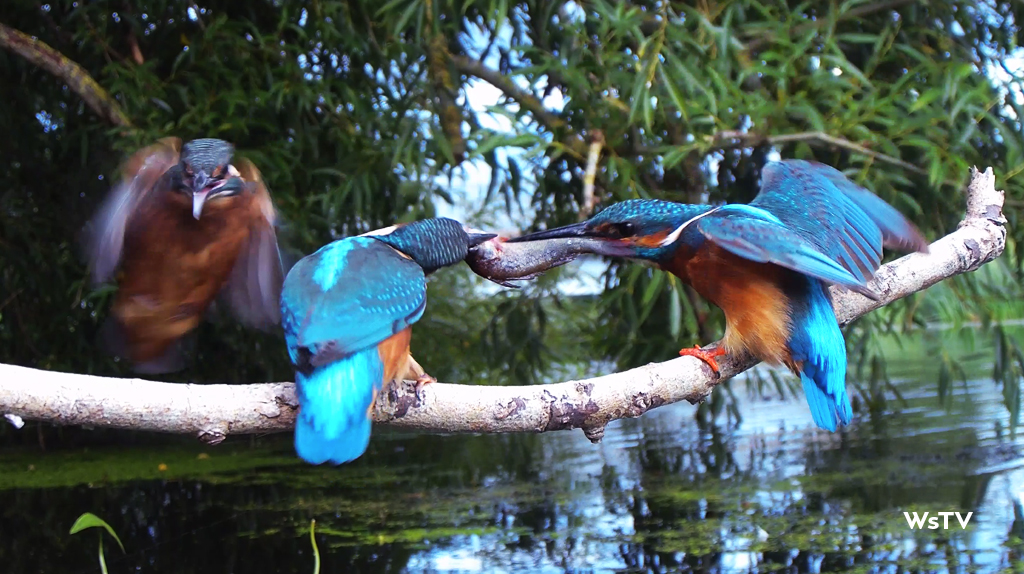 3 Kingfishers on perch