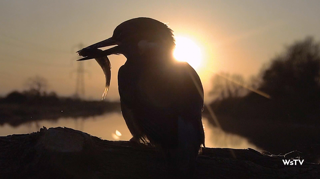 kingfisher catches fish in the sunset